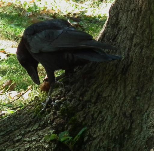 Corbeau essayant de casser une noix 03