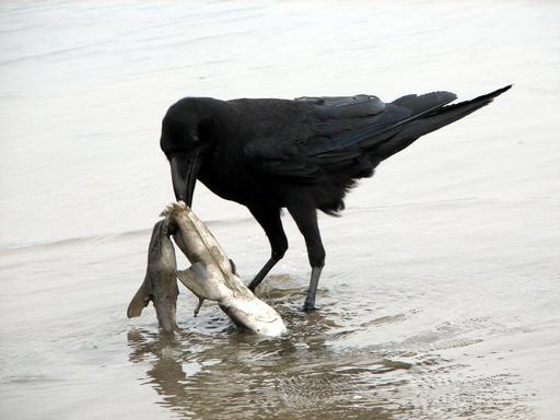 Corbeau et requin