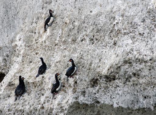 Cormorans de Magellan