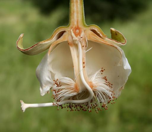 Coupe de fleur de baobab