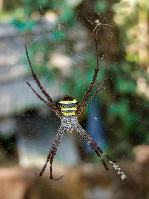 Couple d'araignées