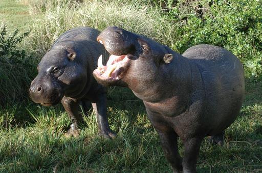 Couple d'hippopotames nains