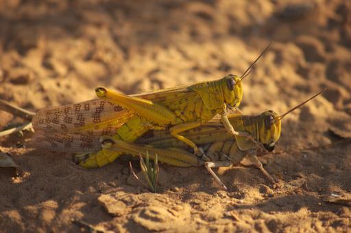 Couple de criquets pélerins dans le désert