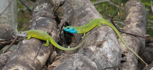Couple de lézards