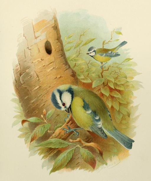 Couple de mésanges bleues