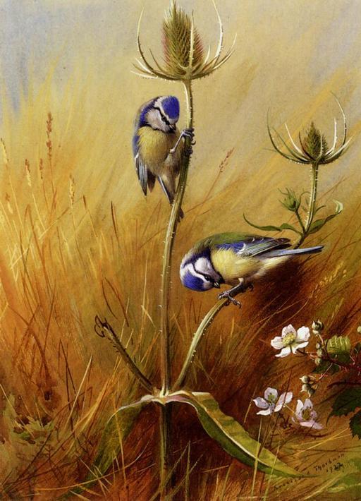 Couple de mésanges bleues sur un chardon