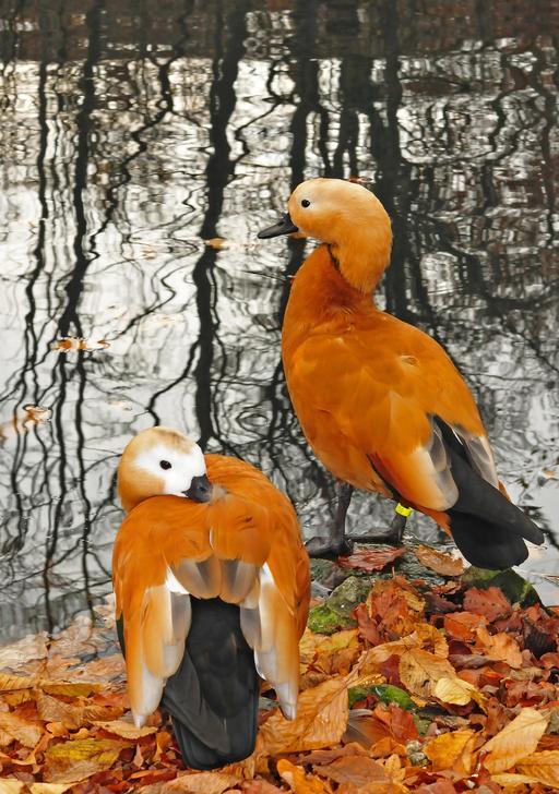 Couple de Tadorne casarca en automne