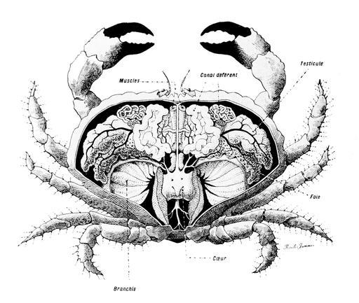 Anatomie du crabe
