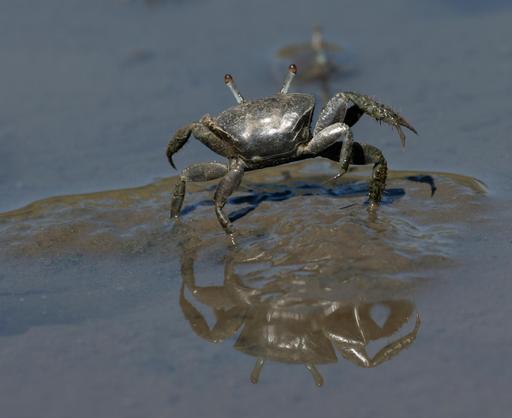 Crabe violoniste et son reflet dans l'eau