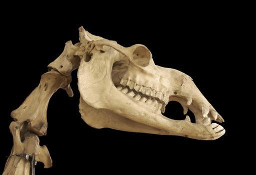 Crâne de dromadaire
