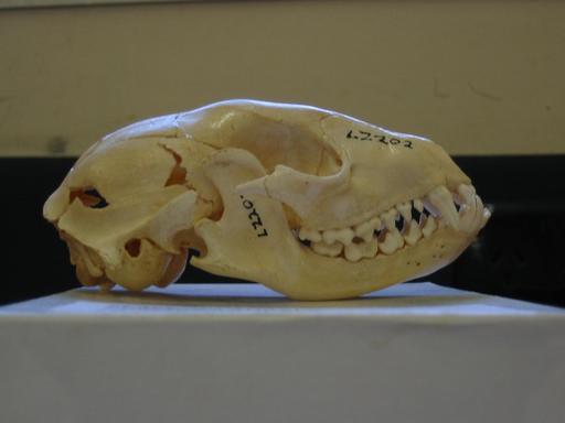 Crâne de raton laveur