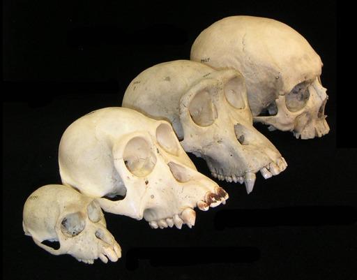 Crânes de 4 mammifères primates