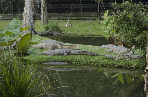 Crocodiles de Johnson au zoo, en Australie