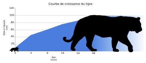 Croissance du tigre
