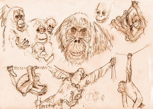Croquis d'Orang-outans