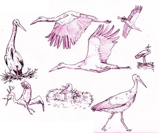 Croquis de cigognes blanches