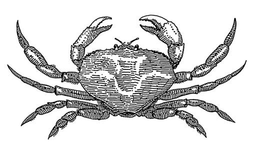 Croquis de crabe