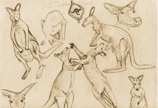 Croquis de Kangourous