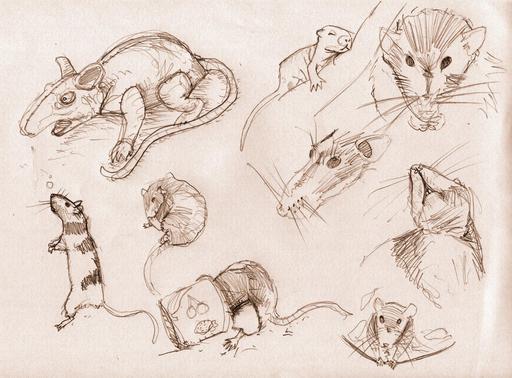 Croquis de rats