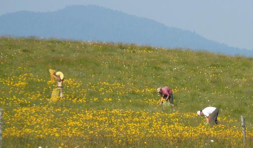 Cueillette d'arnica dans les Vosges
