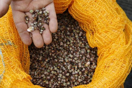Cueillette de bourgeons d'amandier