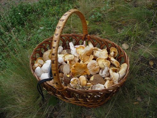 Cueillette de champignons comestibles