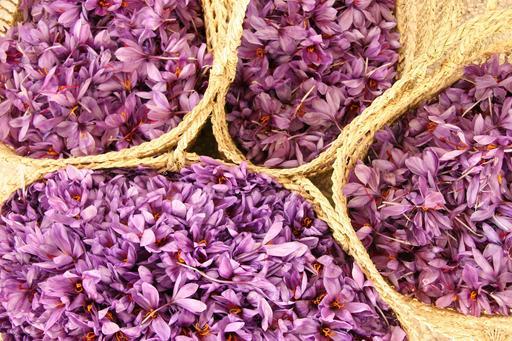 Cueillette de fleurs de safran