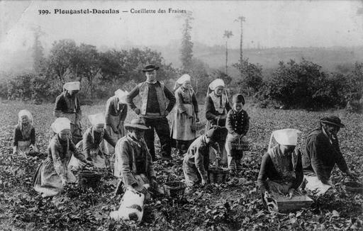 Cueillette des fraises en Bretagne