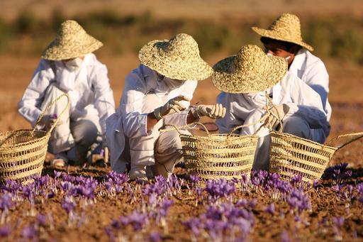 Cueilleurs de safran en Iran