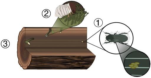Cycle de vie d'un coléoptère