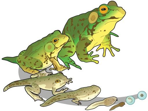 Cycle de vie de la grenouille verte