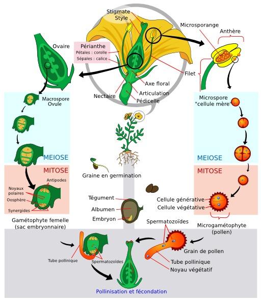 Cycle de vie des Angiospermes