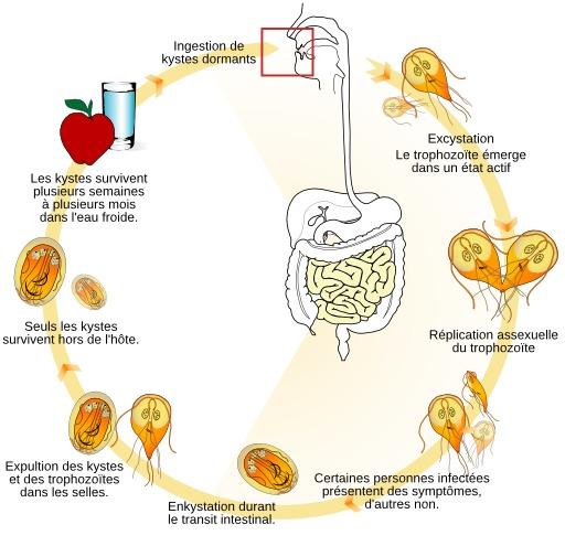 Cycle de vie du parasite Giardia lamblia