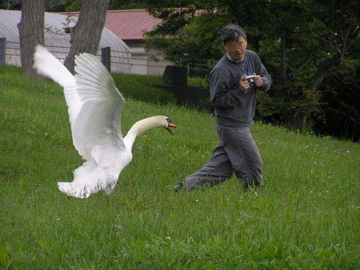 Cygne attaquant un photographe japonais