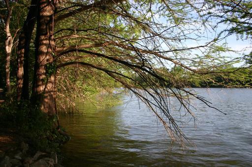 Cyprès au bord de l'eau