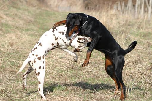 Dalmatien et Dobermann