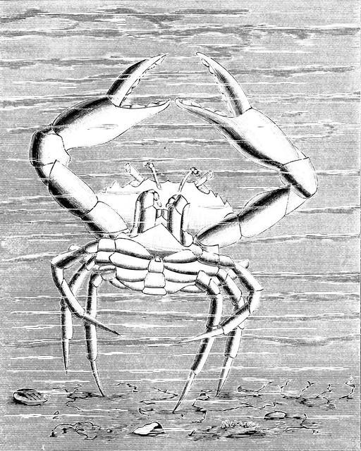 Danse de crabe