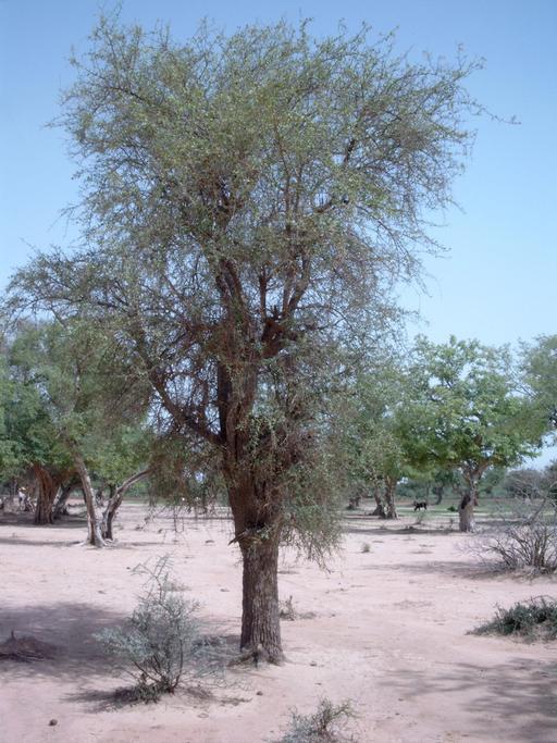 Dattiers du désert