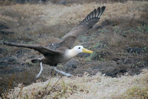 Décollage d'albatros