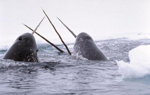 Défenses de narvals