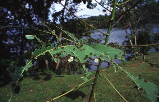 Défoliation par les fourmis Atta