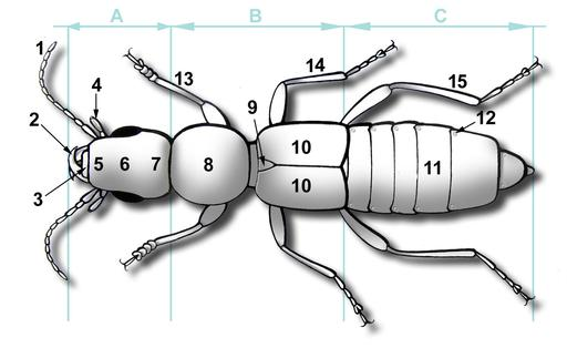 Description d'un coléoptère
