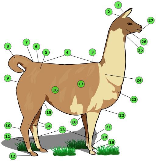 Description d'un lama