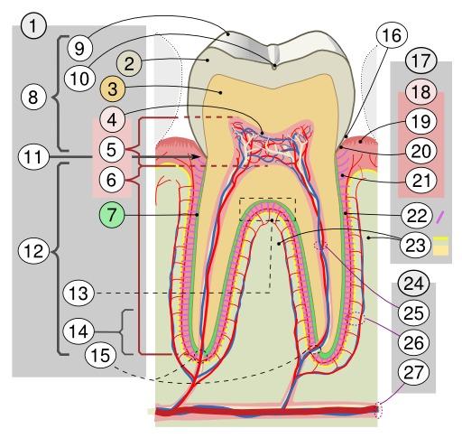 Description d'une molaire