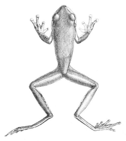 Dessin de grenouille géante