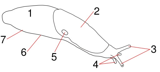 Dessin de limace