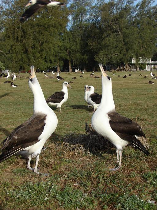 Deux albatros