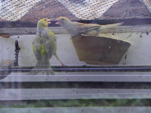 Deux canaris