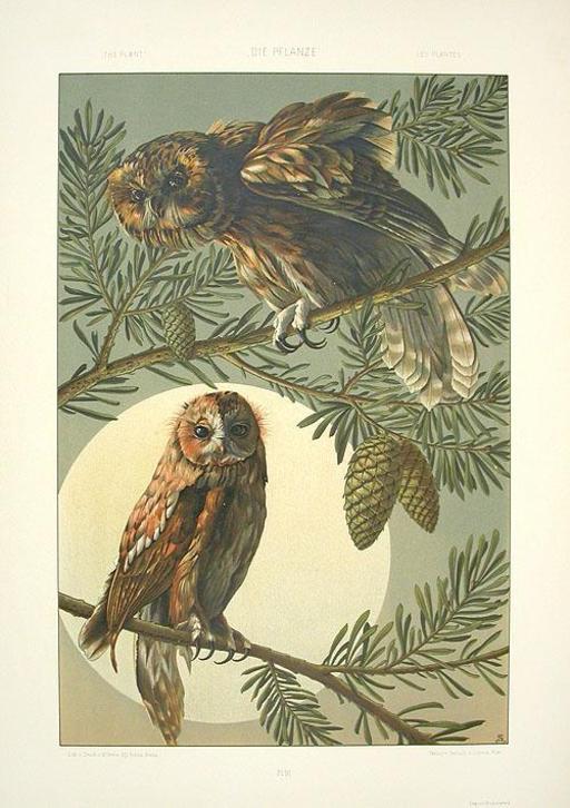 Deux chouettes sur des branches de pin