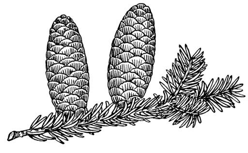 Deux cônes de sapin